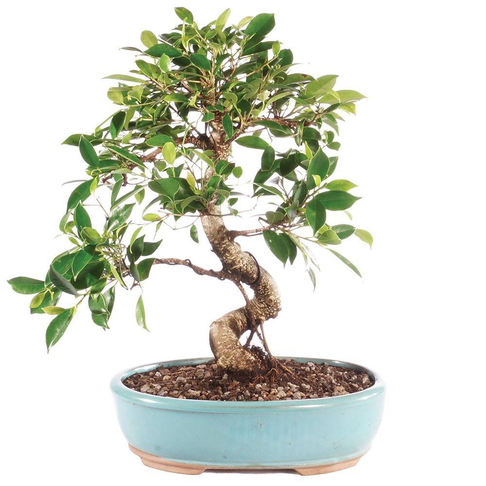 Large Golden Gate Ficus Indoor Live Houseplant - Brussel's Bonsai