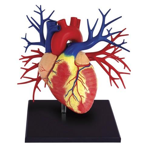 4D Master Life-size Human Heart Anatomy Model 20pc : Target