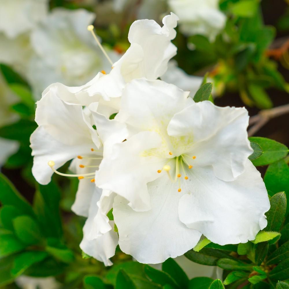 Image of Azalea 'Gumpo White' 2.5qt U.S.D.A. Hardiness Zones 7-9 - 1pc - Cottage Hill, Size: 2.5 Quarts