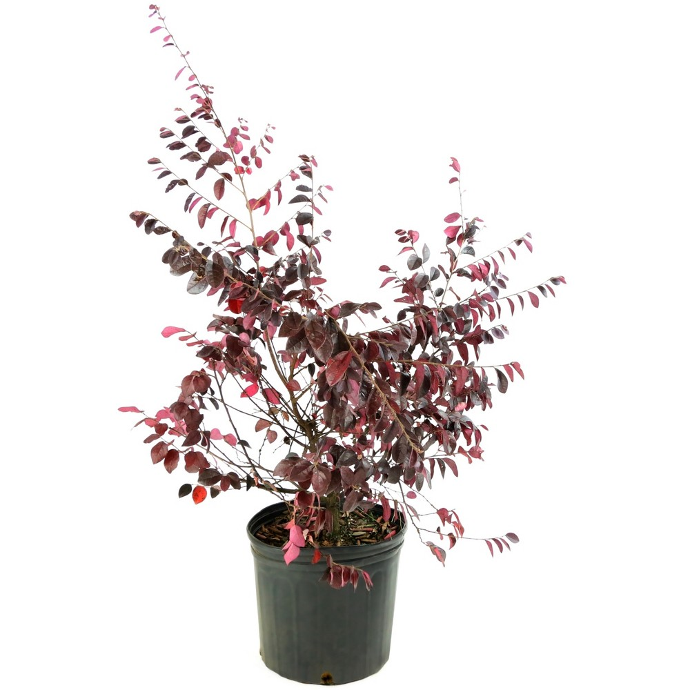 Image of Loropetalum 'Carolina Midnight' 1pc U.S.D.A. Hardiness Zones 7-10 Cottage Hill 2.25gal