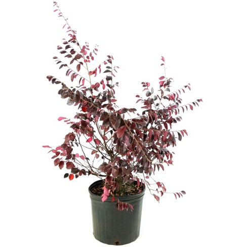 Loropetalum 'Carolina Midnight' 1 Piece U.S.D.A. Hardiness Zones 7-10 Cottage Hill - image 1 of 3