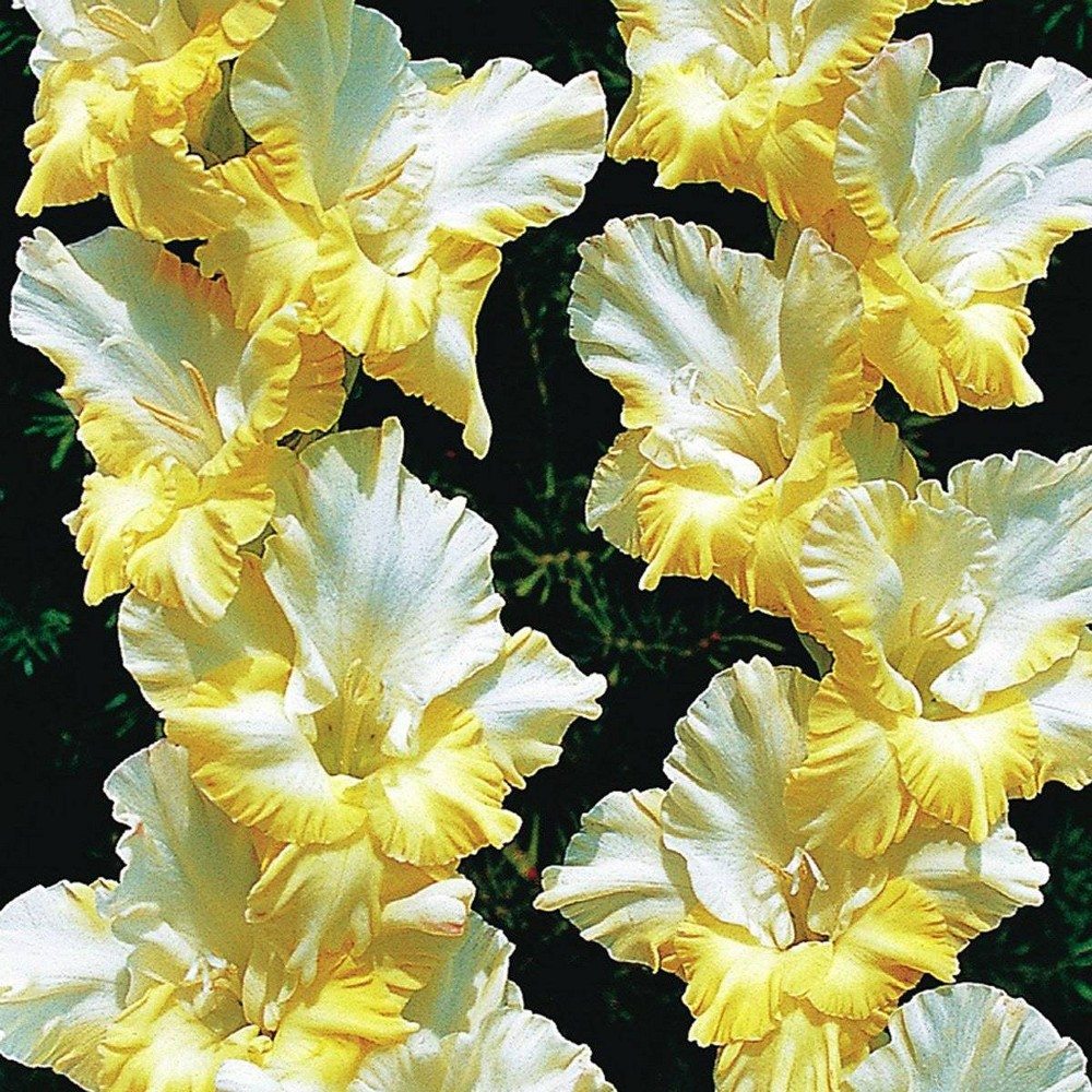 Image of 12ct Bulbs - Gladiolus - Large Flowering Sunny Side Up - Van Zyverden