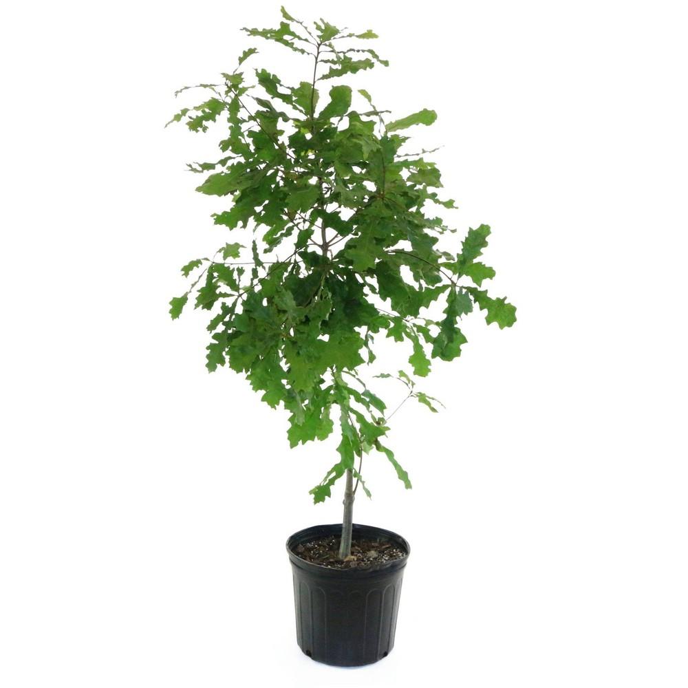 2 25gal Overcup Oak Tree National Plant Network