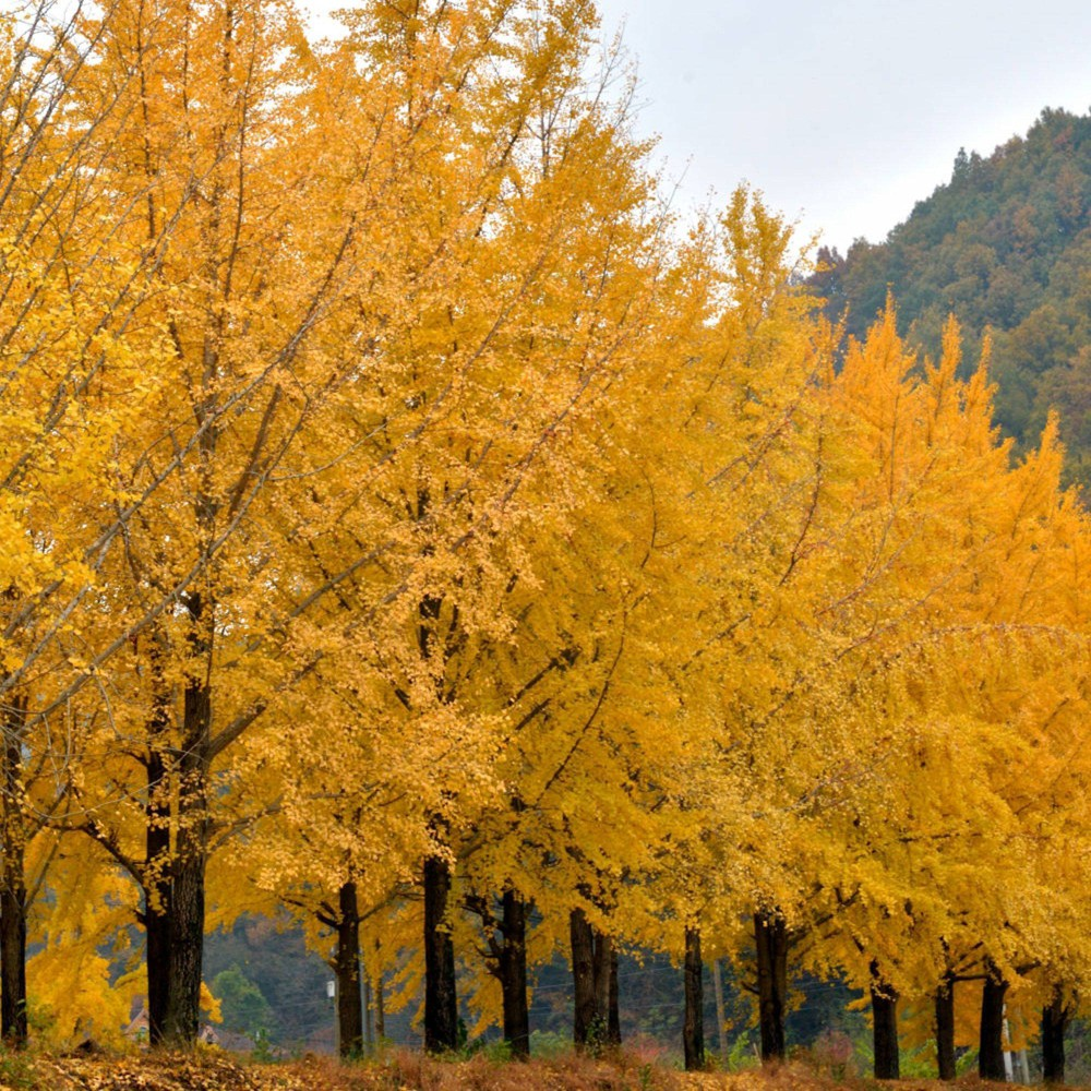 Image of 2.25gal Ginkgo Biloba Tree - National Plant Network