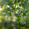 1pc Nuttall Oak - National Plant Network - image 4 of 4