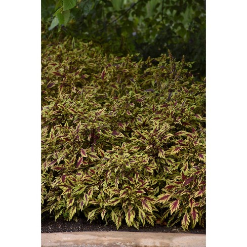 3pc Coleus 'Flame Thrower Chipotle' - National Plant Network - image 1 of 1