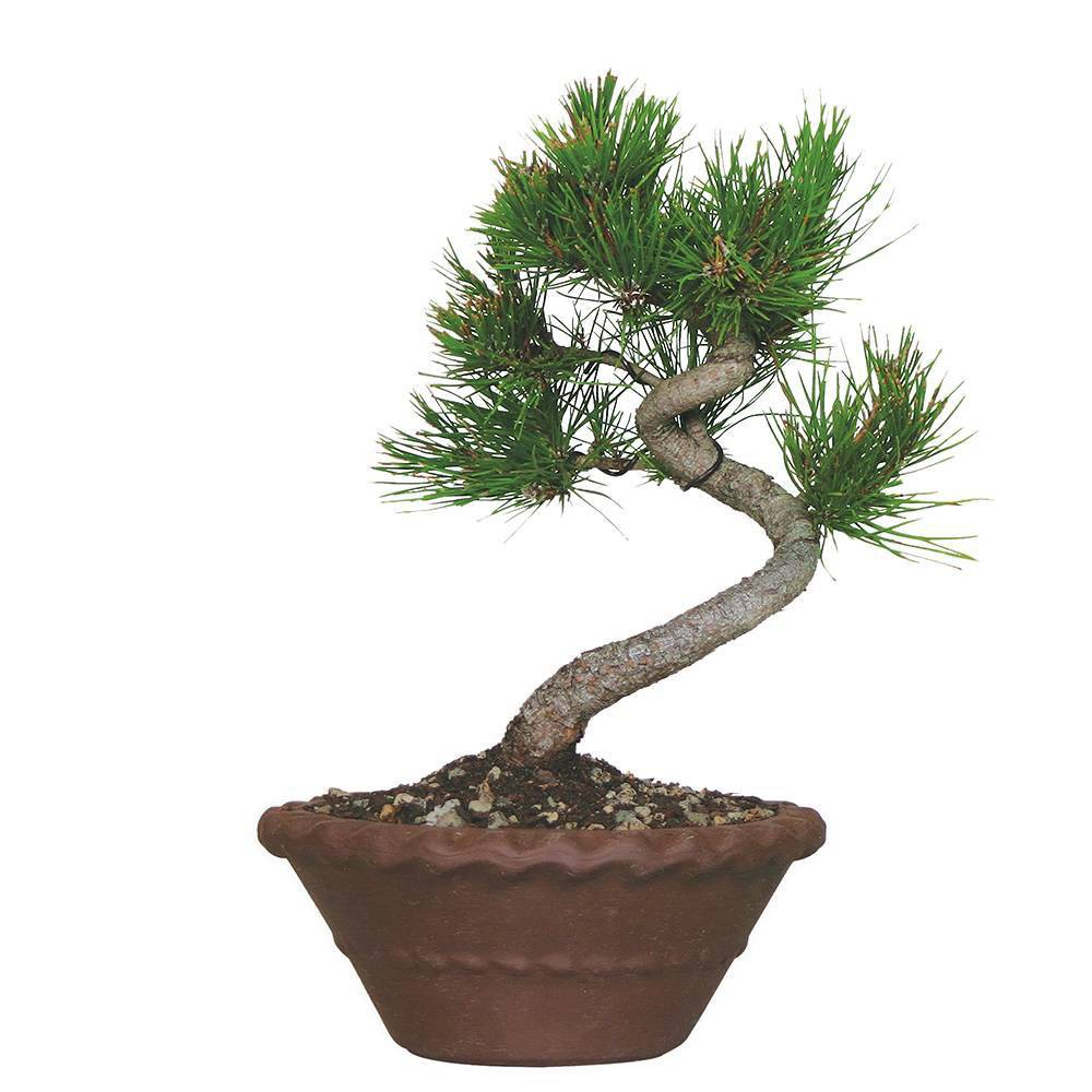 Image of Japanese Black Pine Live Houseplant - Brussel's Bonsai