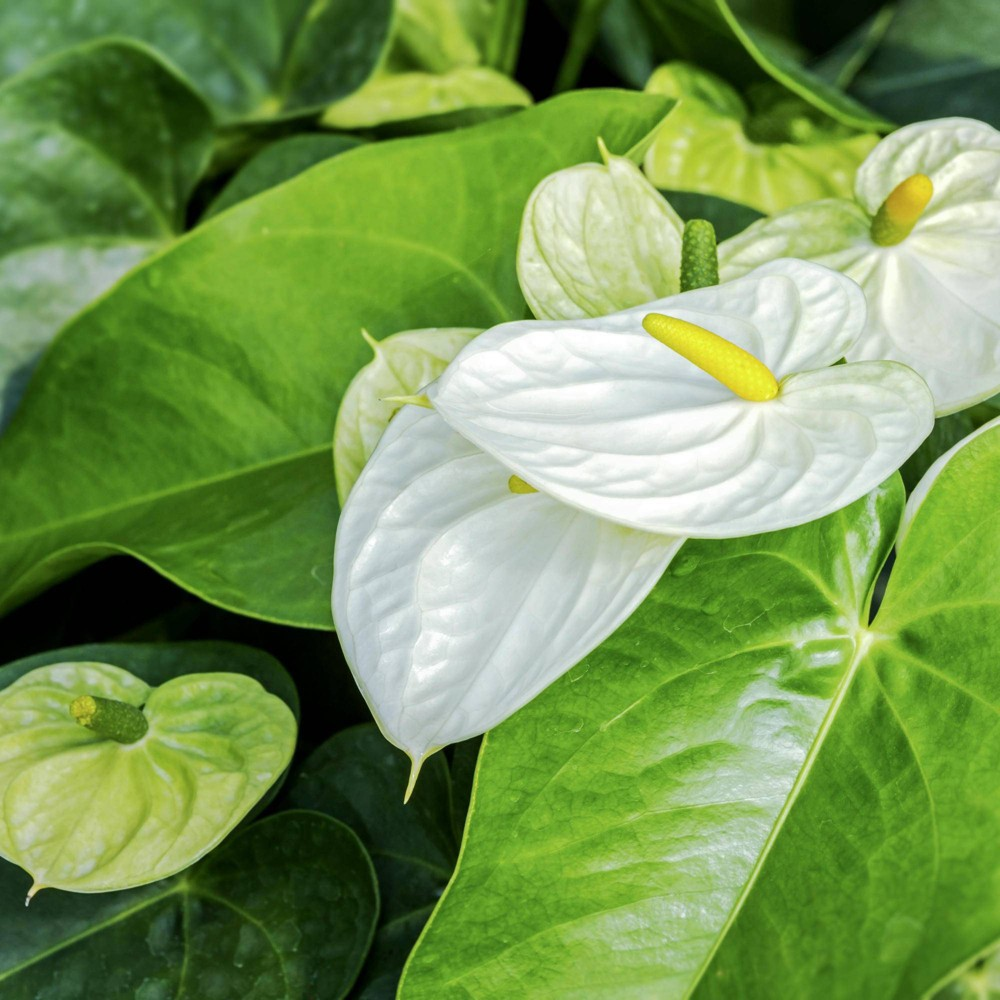 Image of Anthurium White Heart - National Plant Network