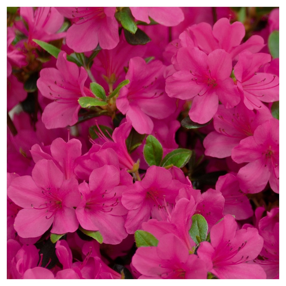 Azalea 'Rene Michelle' 1pc - Cottage Hill - U.S.D.A. Hardiness Zones 5 - 8