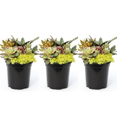 3pk Living Canvas Sunkissed Bliss Succulent Plants - National Plant Network