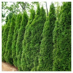 Arborvitae 'Emerald Green' 1pc - National Plant Network U.S.D.A Hardiness Zone 4-9 - 2.25 Gallon