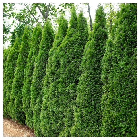 Arborvitae 'Emerald Green' 1pc - Cottage Hill U.S.D.A Hardiness Zone 4-8 - 2.5 Quart - image 1 of 3