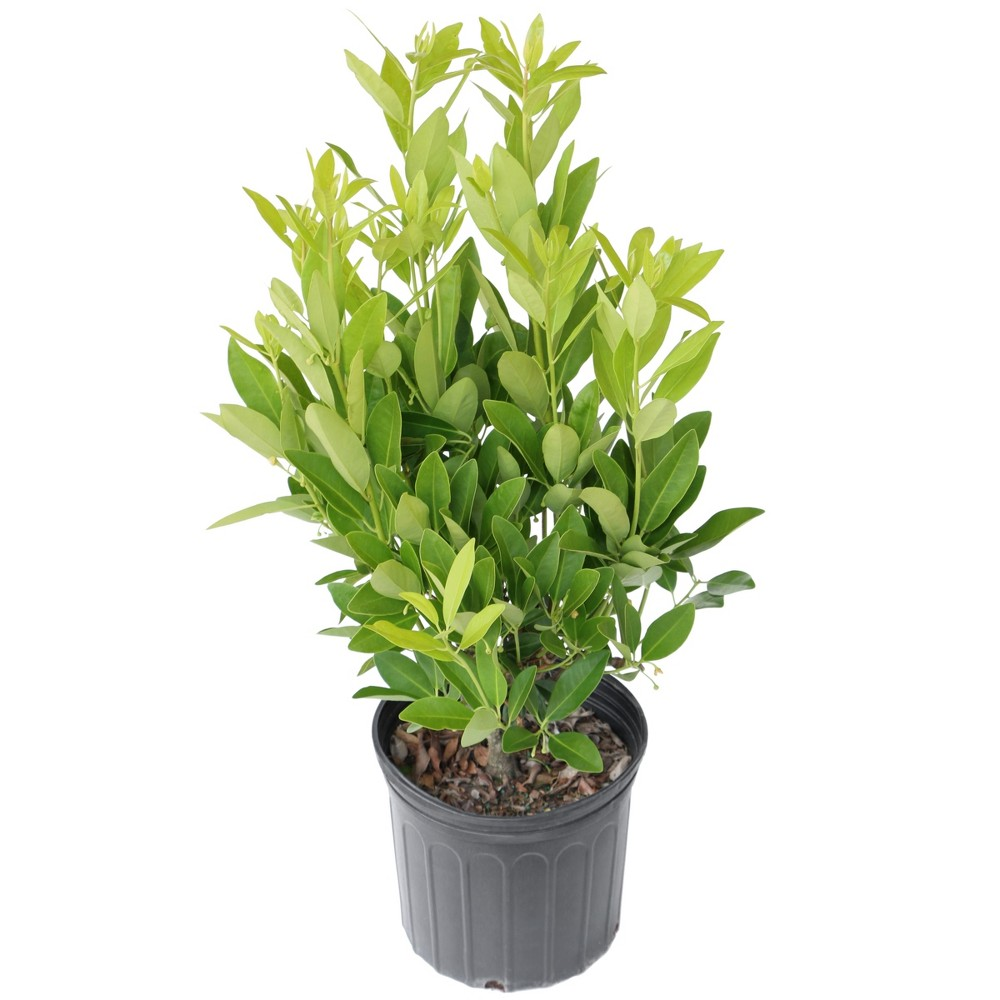 Annise Tree 2.25gal U.S.D.A. Hardiness Zones 7-10 - 1pc - Cottage Hill, Green/Red/Yellow
