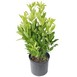 Annise Tree 2.25gal U.S.D.A. Hardiness Zones 7-10 - 1pc - Cottage Hill