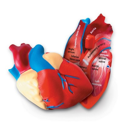 Learning Resources Cross-Section Human Heart Model, Large Foam Scale, Ages 7+