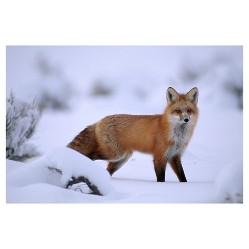 National Geographic Fox Poster - Brown/White - image 1 of 2