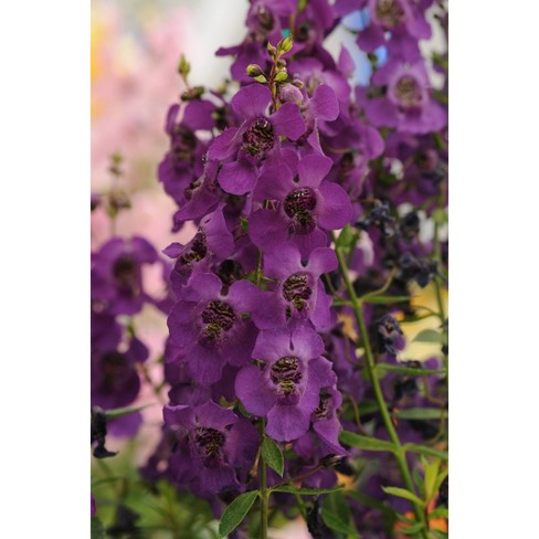 3pc Angelonia Archangel Dark Purple - National Plant Network - image 1 of 3