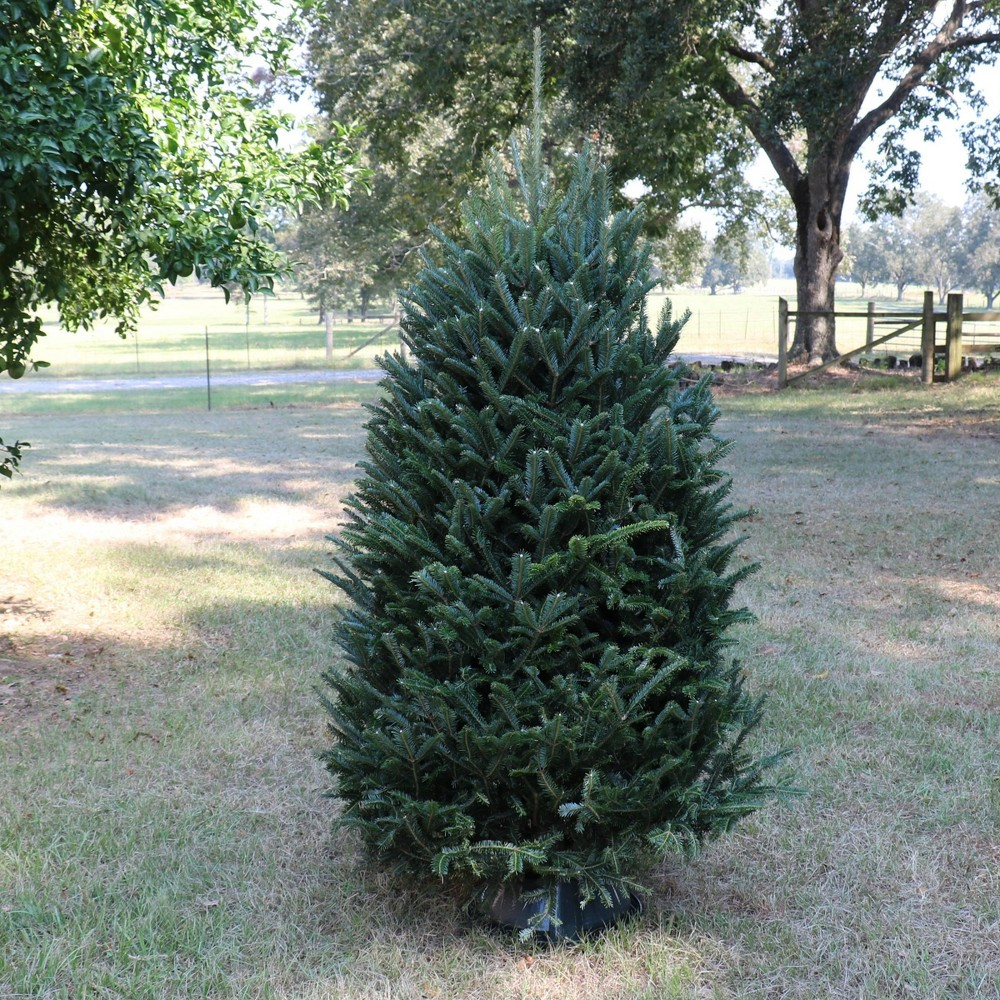 Image of Live Noble Fir Fresh Cut Christmas Tree - Cottage Hill Nursery