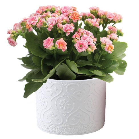 "4.5"" Potted Kalanchoe - Colors May Vary - image 1 of 1"