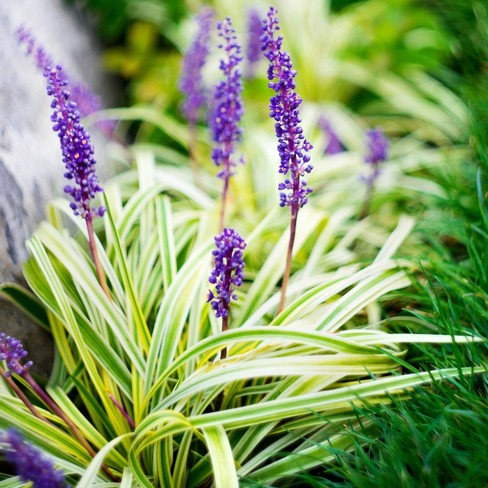 2.5qt Variegated Liriope Plant with Purple Blooms - National Plant Network - image 1 of 4