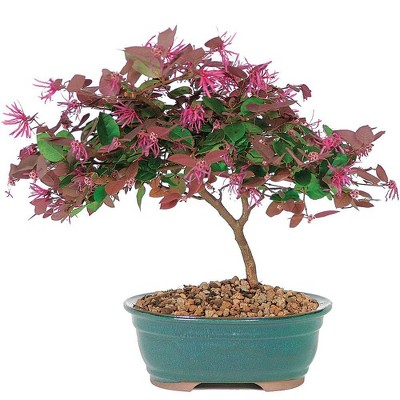 Medium Fringe Flower Outdoor Live Plant - Brussel's Bonsai