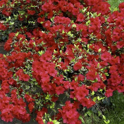 2.5qt Girard Crimson Azalea Plant with Red Blooms - National Plant Network