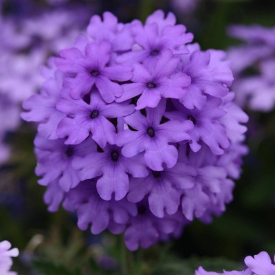 4pc Verbena EnduraScape Blue Improved - National Plant Network