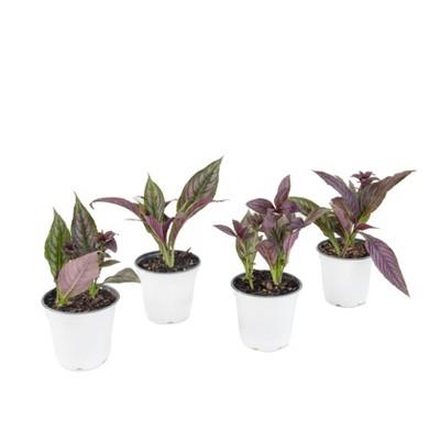 4pc Persian Shield Purple - National Plant Network