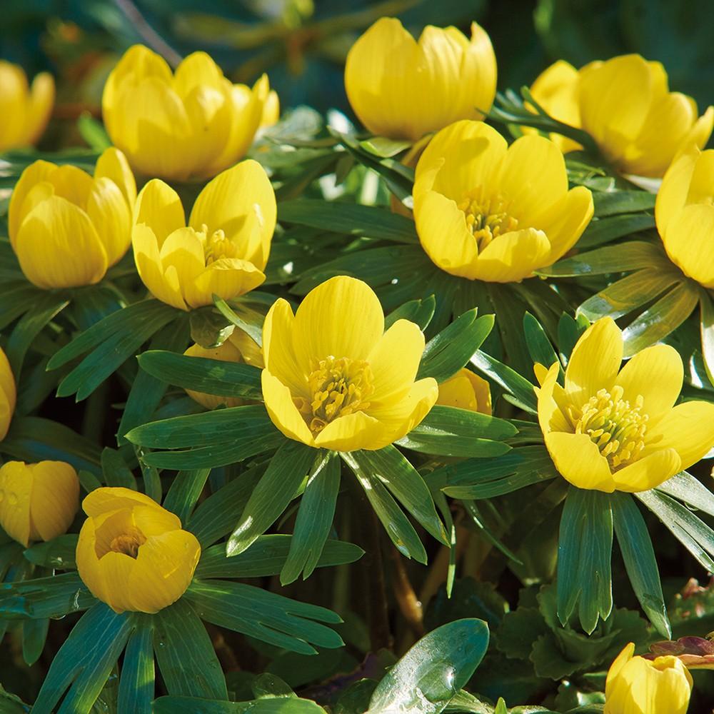 Eranthis Winter Aconite Set of 50 Bulbs - Yellow - Van Zyverden