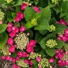 2.5qt Cherry Explosion Hydrangea with Red Blooms - National Plant Network - image 3 of 3