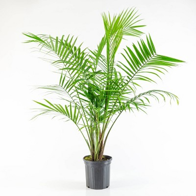 Majesty Palm - National Plant Network
