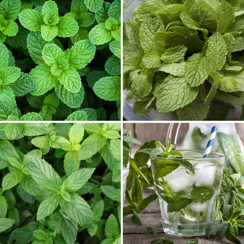 "Image of ""Burpee Herbs 'Mint Collection' 3pc Seasonal Grown In All U.S.D.A. Hardiness Zones Cottage Hill 4"""""""
