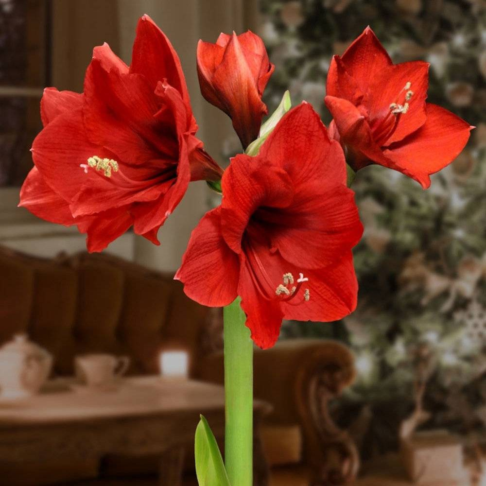 3pc Silver Waxed Giant Amaryllis - National Plant Network