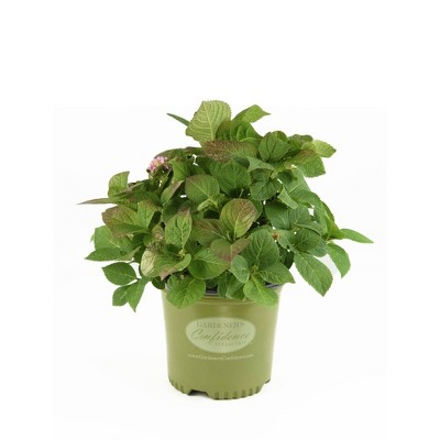 National Plant Network 2gal Gardners Confidence Hydrangea Mini Penny with Blooms