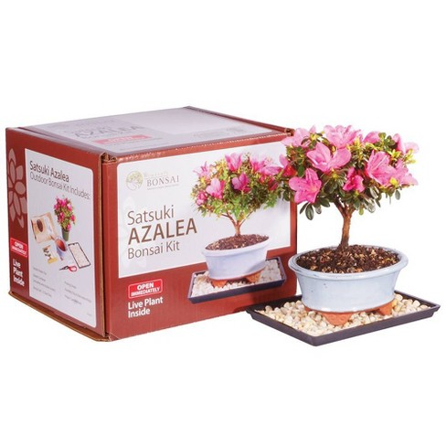 Azalea Bonsai Kit - Brussel's Bonsai - image 1 of 1