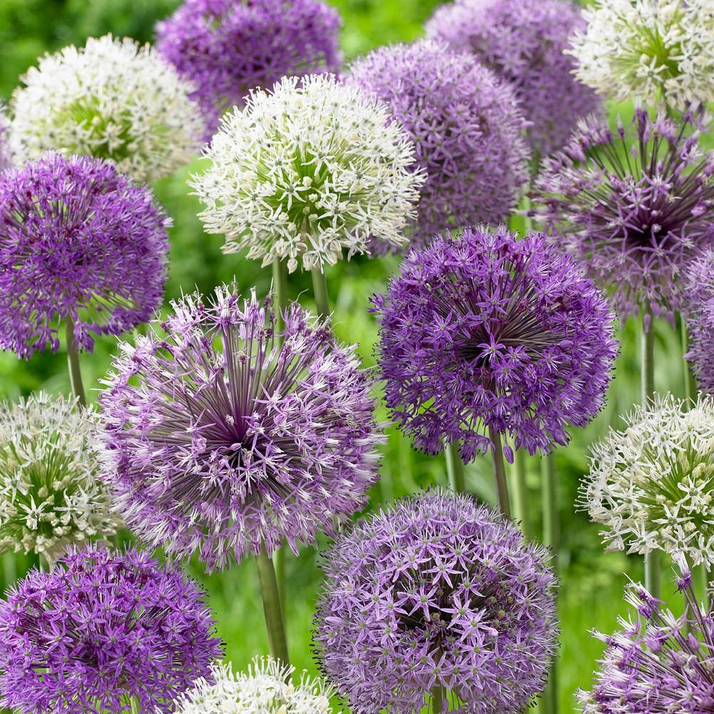 Image of Allium Blend Set of 12 bulbs - Purple - Van Zyverden