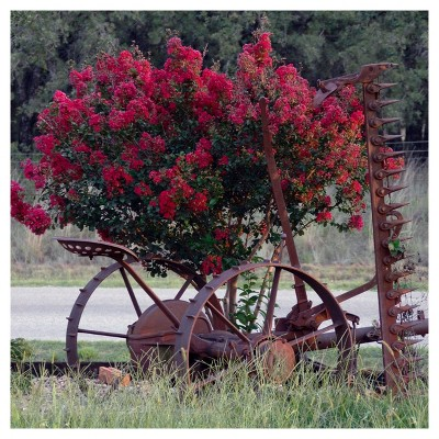 Black Diamond Crepe Myrtle 'Red Hot' 1pc - National Plant Network U.S.D.A Hardiness Zone 6-9