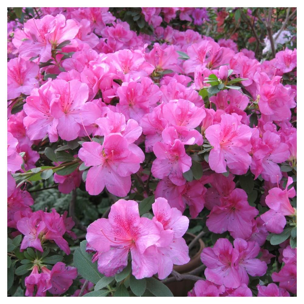 Floramore Azalea 'Lavender' 1pc - Cottage Hill - U.S.D.A. Hardiness Zones 7 - 9
