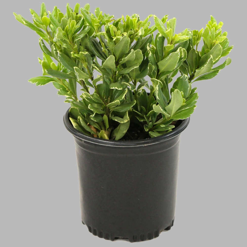 Image of 1pc Pittosporum Variegated - National Plant Network