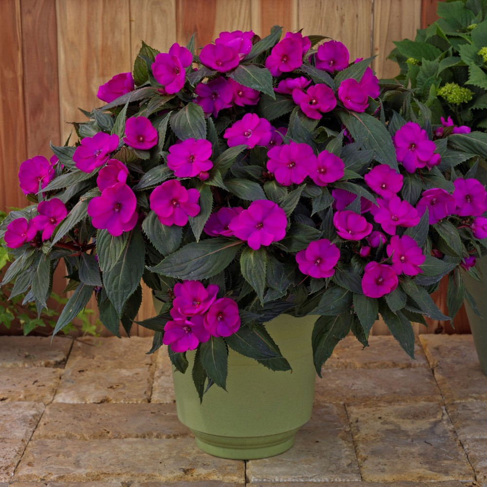 Image of 3pc SunPatiens Compact Purple - National Plant Network