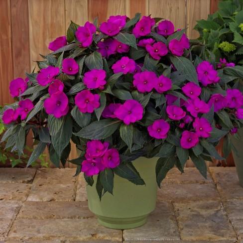 3pc SunPatiens Compact Purple - Cottage Hill