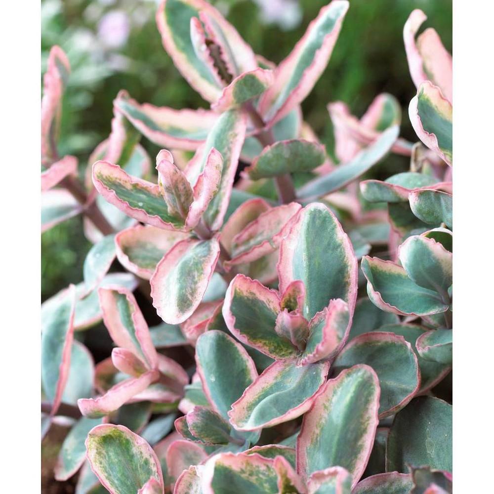 Van Zyverden Set Of 3 Garden Succulent Sedum Winky Roots