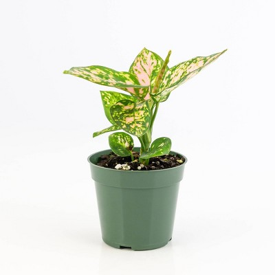 3pc Chinese Evergreen 'Lucky Red' - National Plant Network