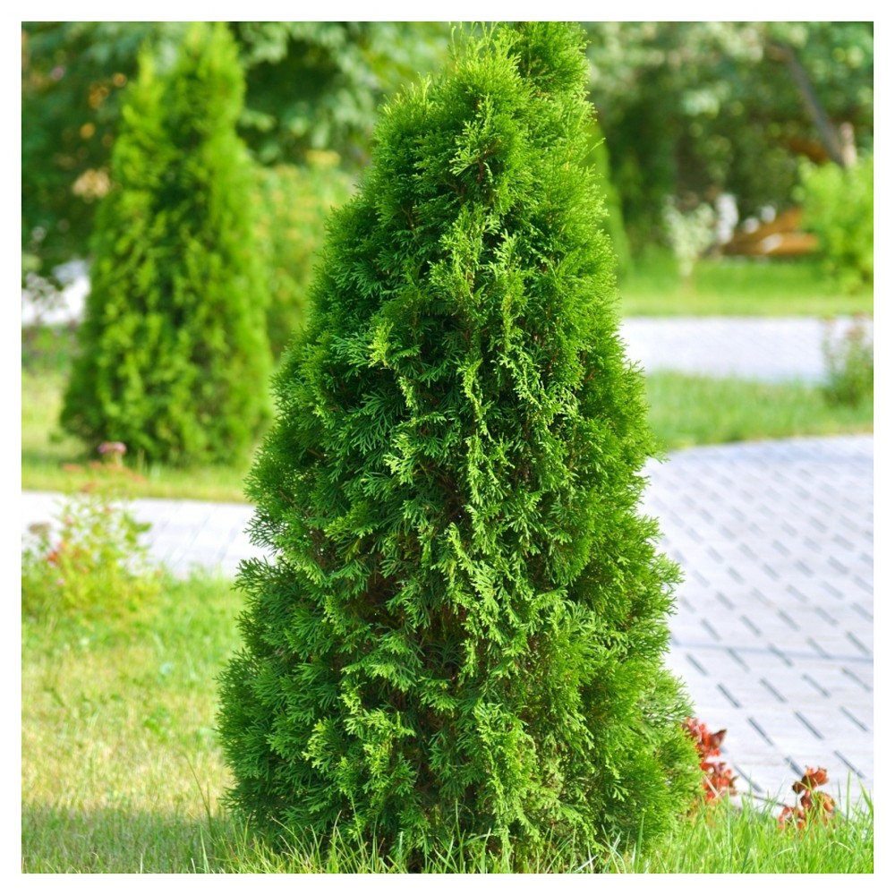 Image of Leyland Cypress 'Shorty' 3pc Cottage Hill - U.S.D.A. Hardiness Zones 6 - 8