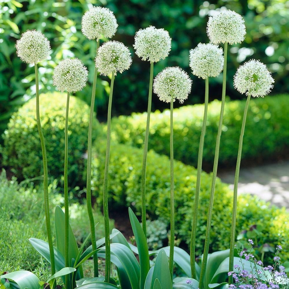 Image of Allium Mount Everest Set of 5 Bulbs - Van Zyverden