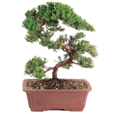 Extra Large Mound Juniper Green Outdoor Live Plant - Brussel's Bonsai - image 1 of 1