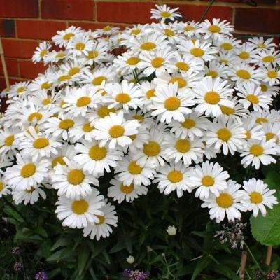 White Magic Daisy Leucanthemum - National Plant Network