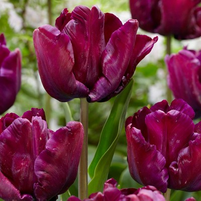 Tulips Victoria's Secret Set of 12 Bulbs - Purple - Van Zyverden