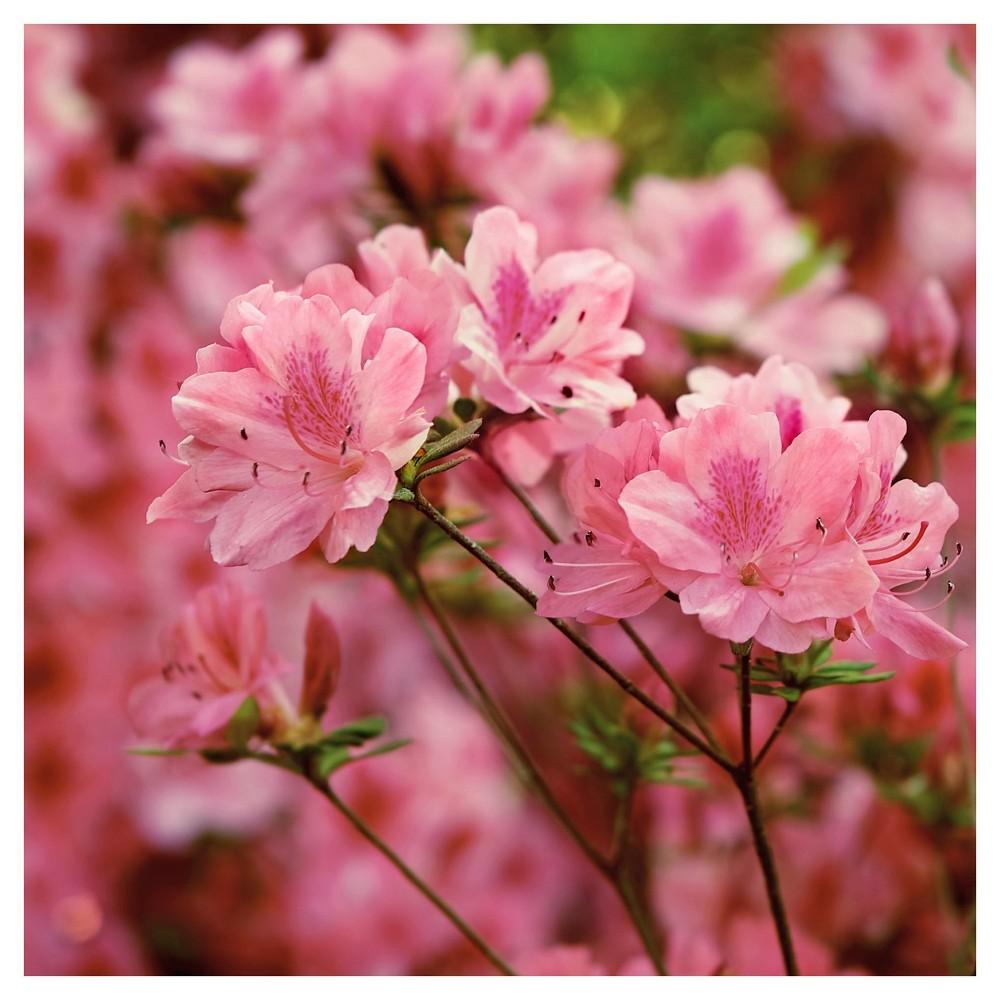 Azalea Hampton Beauty 1pc - Cottage Hill U.S.D.A Hardiness Zone 7-10