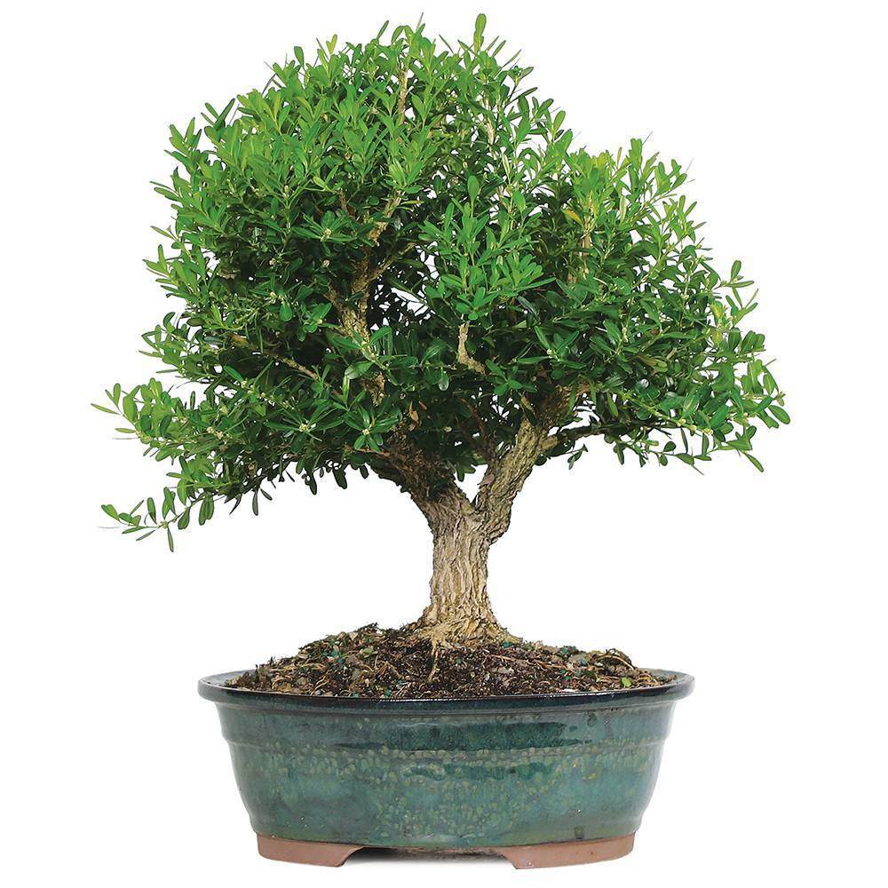 Image of Large Harland Boxwood Outdoor Live Plant - Brussel's Bonsai